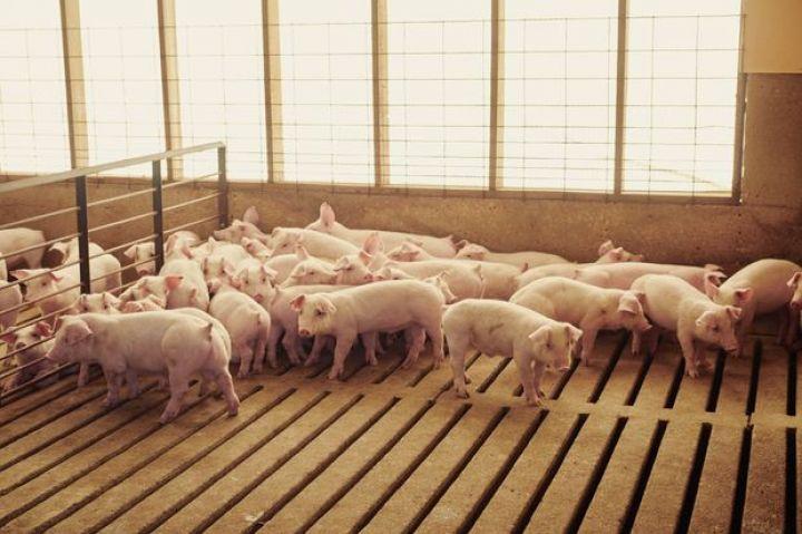 pork-plants-face-slower-hog-slaughter-after-court-ruling.jpg